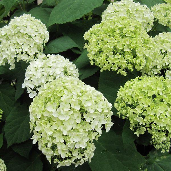 花木 庭木の苗/アジサイ:アナベル大株 8号ルートバックまたは根巻き|engei