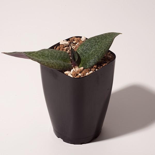 【送料無料】 レスノヴァ メガフィラ Resnova megaphylla 【3号鉢】多肉植物 観葉植物  サボテン 珍しい おしゃれ  ギフト  苗 erioquest