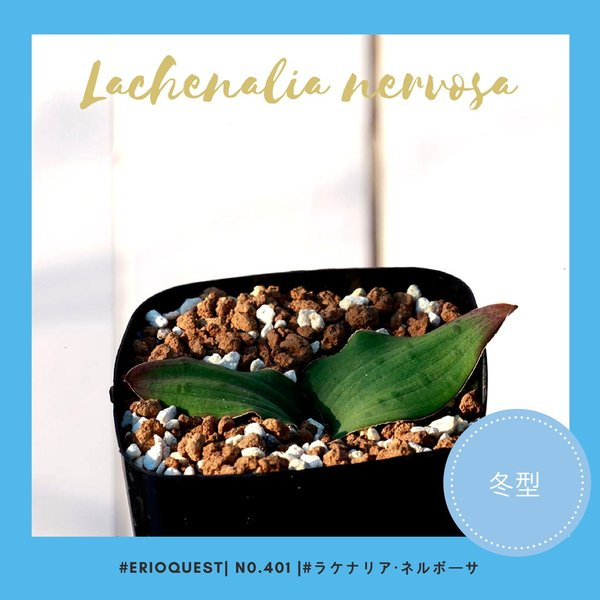 【送料無料】ラケナリア ネルボーサ Lachenalia nervosa 【3号鉢】多肉植物 観葉植物  サボテン 珍しい おしゃれ  ギフト  球根 erioquest