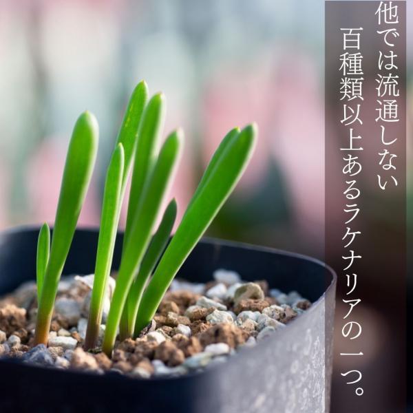 【送料無料】ラケナリア パチュラ Lachenalia patula S. of Vanrhynsdorp 【3号鉢】多肉植物 観葉植物  サボテン|erioquest|02