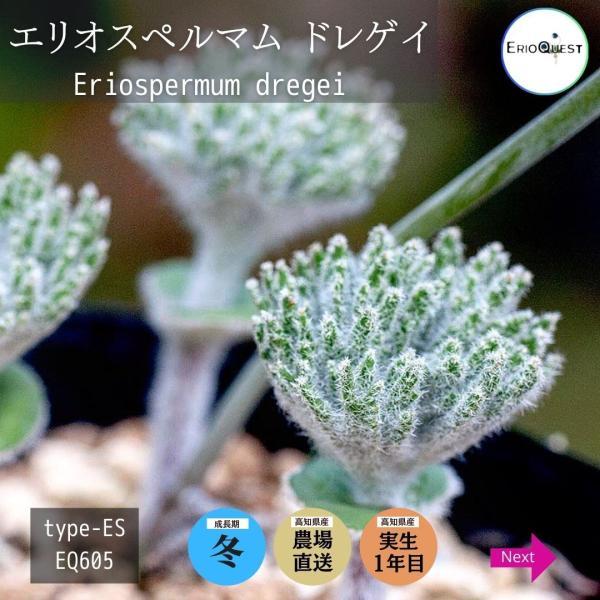 【送料無料】エリオスペルマム・ドレゲイ Eriospermum dregei EQ605 【3号鉢】多肉植物 観葉植物 珍しい インテリア かわいい|erioquest