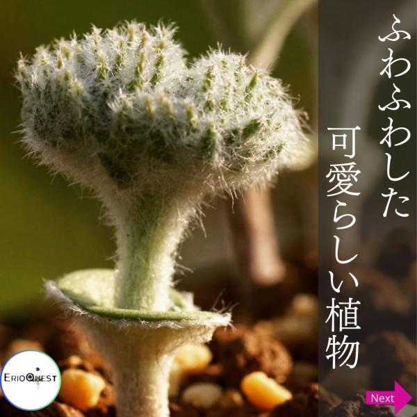 【送料無料】エリオスペルマム・ドレゲイ Eriospermum dregei EQ605 【3号鉢】多肉植物 観葉植物 珍しい インテリア かわいい|erioquest|03