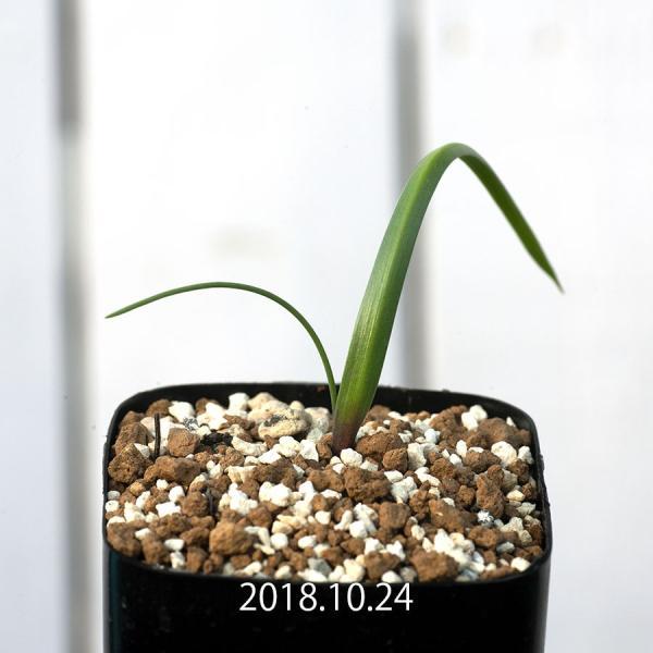 【送料無料】 ダウベニア コマタ Daubenya comata EQ623【3号鉢】多肉植物 観葉植物 サボテン 珍しい おしゃれ ギフト インテリ|erioquest
