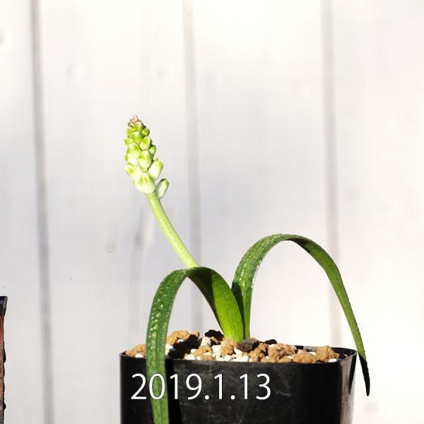 【送料無料】ラケナリア ロンギブラクテアータ  Lachenalia longibracteata EQ645  【3号鉢】多肉植物 観葉植物  珍奇|erioquest