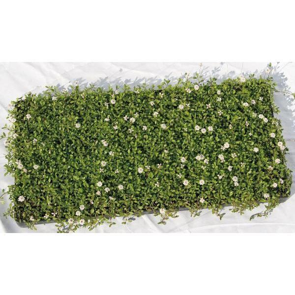 ヒメイワダレソウ(姫岩垂草 マット) 緑の絨毯 薄桃色花 植木 庭木 苗木 常緑低木