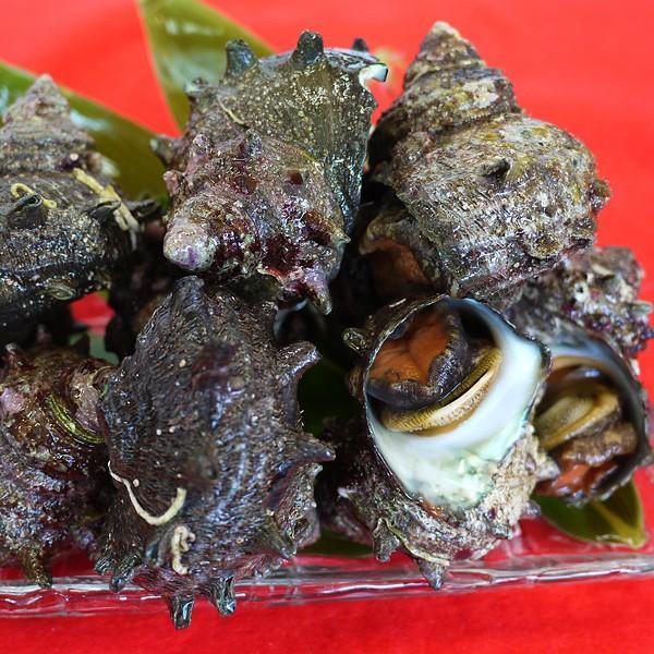サザエ(1kg)新鮮・海の幸 活さざえ(お刺身・つぼ焼き)日本海で獲れた新鮮なサザエを活きたままお届けします[冷蔵]|etizenwakasa|05
