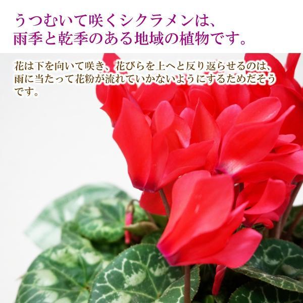 花鉢「シクラメン ファルバラローズ 5号鉢」 クリスマス お歳暮 誕生日 お祝い お正月飾り花 花 鉢植え ギフト プレゼント 送料無料|f-hanasyou|02