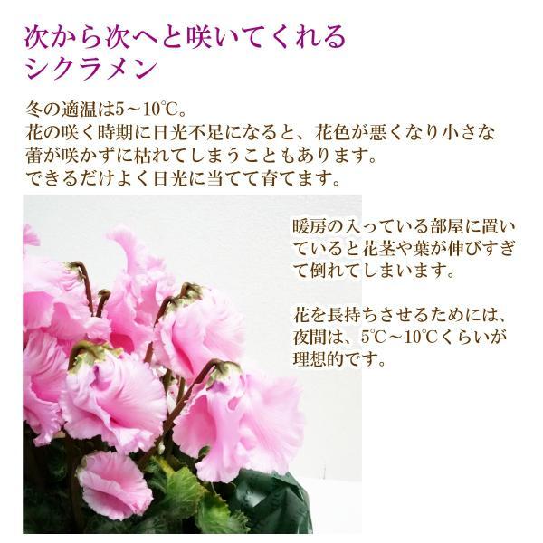 花鉢「シクラメン ファルバラローズ 5号鉢」 クリスマス お歳暮 誕生日 お祝い お正月飾り花 花 鉢植え ギフト プレゼント 送料無料|f-hanasyou|03