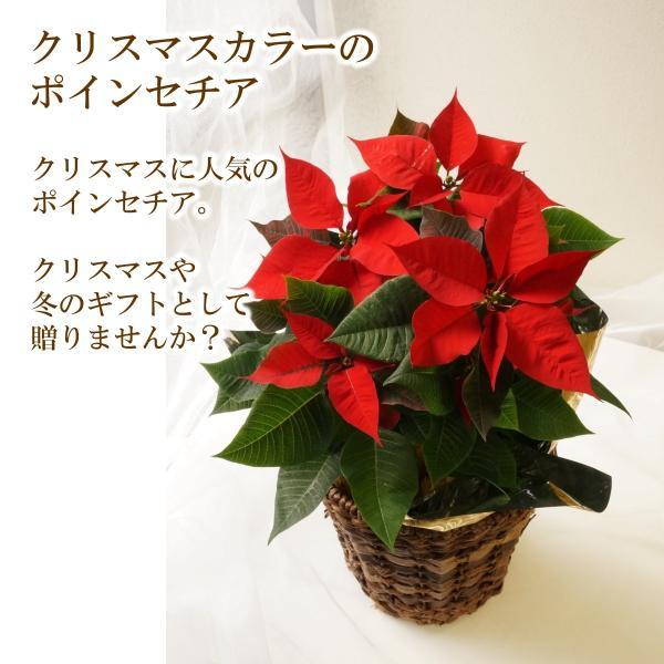 花鉢「ポインセチア 5号鉢」 クリスマス お歳暮 誕生日 お祝い お正月飾り花 花 鉢植え ギフト プレゼント 送料無料|f-hanasyou|02