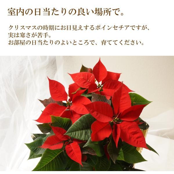 花鉢「ポインセチア 5号鉢」 クリスマス お歳暮 誕生日 お祝い お正月飾り花 花 鉢植え ギフト プレゼント 送料無料|f-hanasyou|03