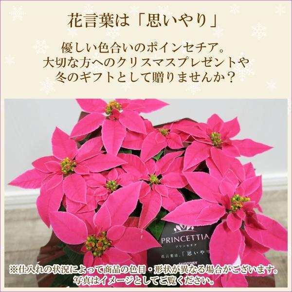 花鉢「プリンセチア 5号鉢」 クリスマス お歳暮 誕生日 お祝い お正月飾り花 花 鉢植え ギフト プレゼント 送料無料|f-hanasyou|02