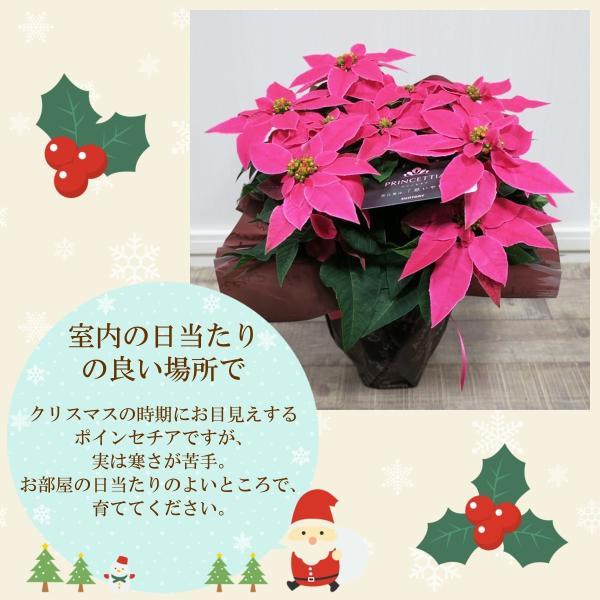 花鉢「プリンセチア 5号鉢」 クリスマス お歳暮 誕生日 お祝い お正月飾り花 花 鉢植え ギフト プレゼント 送料無料|f-hanasyou|03