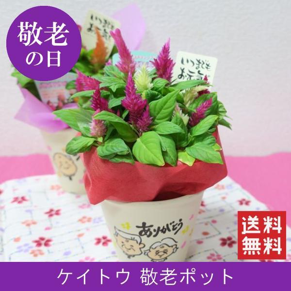 敬老の日花鉢 敬老ポット「いつもありがとう」 敬老の日 誕生日 お祝い 花 ギフト プレゼント 花鉢 鉢植え ケイトウ けいとう 鶏頭 送料無料|f-hanasyou