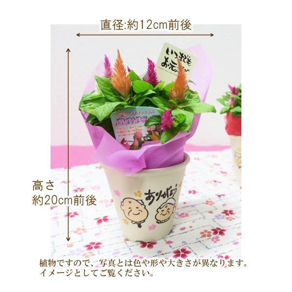 敬老の日花鉢 敬老ポット「いつもありがとう」 敬老の日 誕生日 お祝い 花 ギフト プレゼント 花鉢 鉢植え ケイトウ けいとう 鶏頭 送料無料|f-hanasyou|05