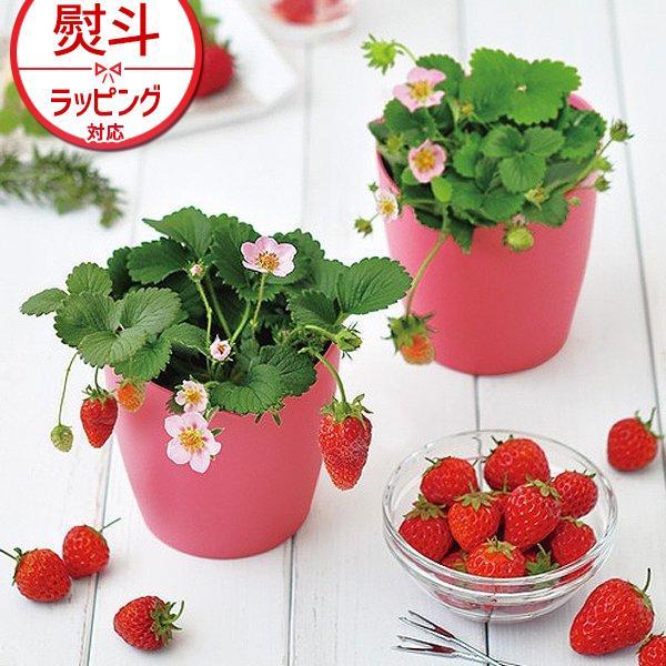 聖新陶芸 ピンクの花咲く ストロベリー栽培キット GD-796 ズームイン!!サタデー