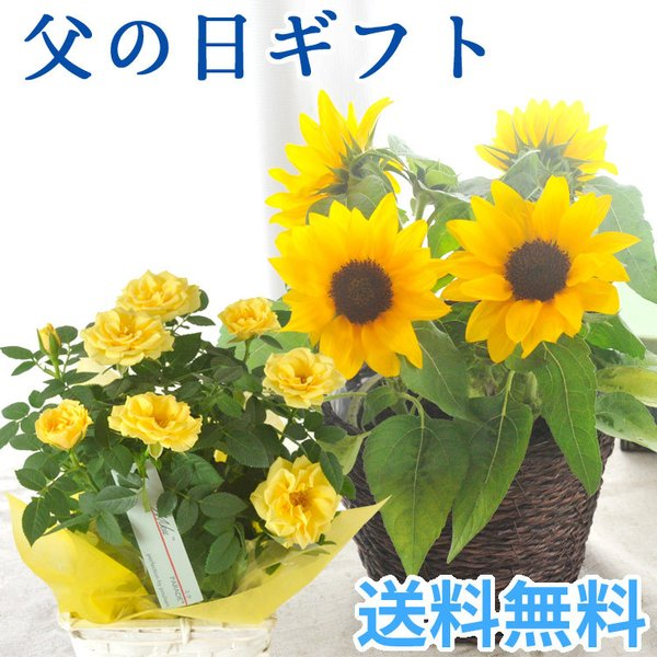  \まだ間に合う/ 父の日 2021 花 プレゼント 選べる花鉢 ひまわり or 黄色バラ 鉢植え …