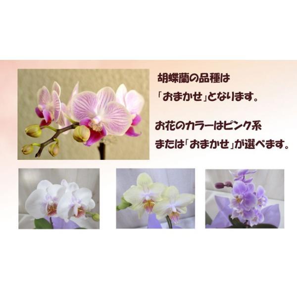胡蝶蘭 産地直送の花ギフト マイクロ胡蝶蘭 ギフトボックス入り 椎名洋ラン園こだわりの高級胡蝶蘭  育てやすい 花鉢|fkjiyugaoka|02