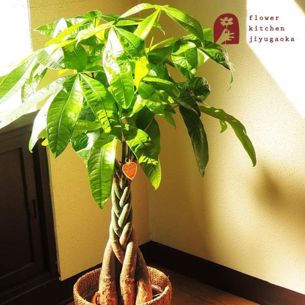 パキラ 観葉植物 パキラ の鉢植えM 7号鉢 即日発送のグリーン ギフト 引っ越し祝い 新築祝い お祝い|fkjiyugaoka
