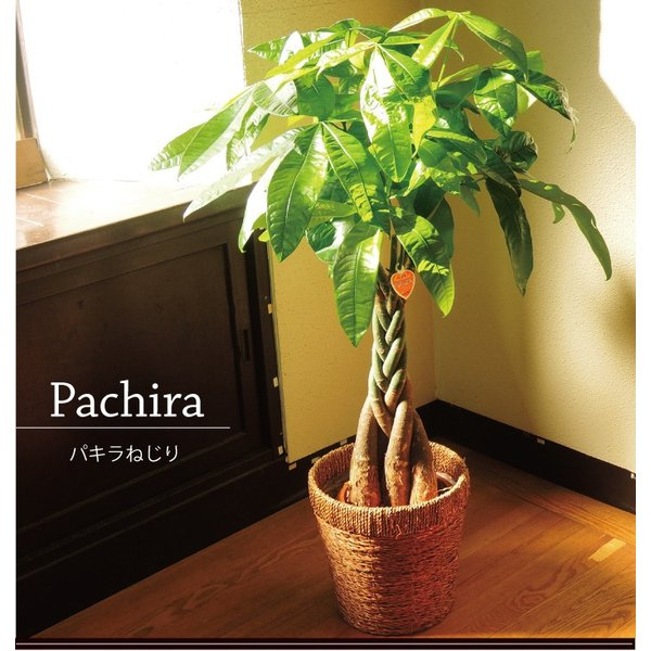 パキラ 観葉植物 パキラ の鉢植えM 7号鉢 即日発送のグリーン ギフト 引っ越し祝い 新築祝い お祝い|fkjiyugaoka|02