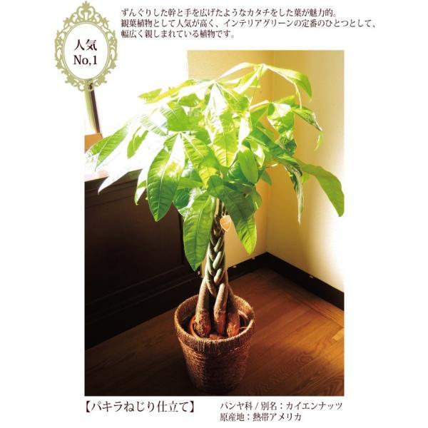 パキラ 観葉植物 パキラ の鉢植えM 7号鉢 即日発送のグリーンギフト|fkjiyugaoka|03