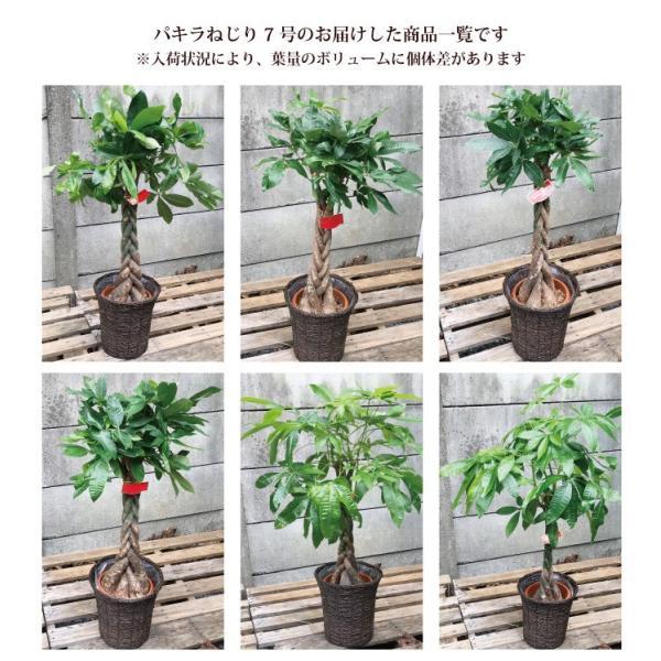 パキラ 観葉植物 パキラ の鉢植えM 7号鉢 即日発送のグリーン ギフト 引っ越し祝い 新築祝い お祝い fkjiyugaoka 10