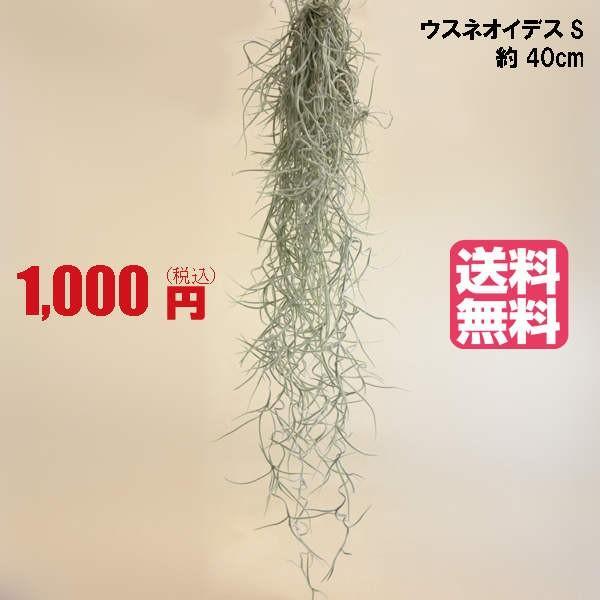 【ポイント5倍】エアプランツ ウスネオイデス(Sサイズ/40cm)  エアープランツ