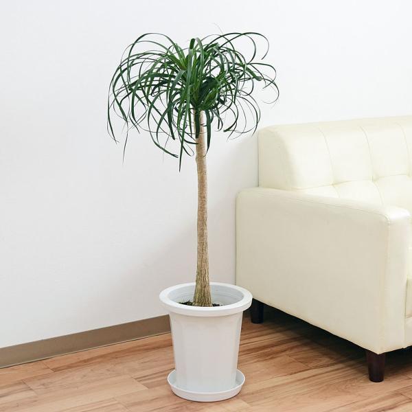 RoomClip商品情報 - 観葉植物 ポニーテール(トックリラン) 中鉢(8号)