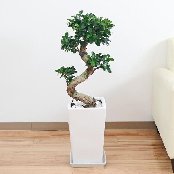 観葉植物 ガジュマル(多幸の木) 曲がり仕立て スクエア陶器鉢植え|flower-c