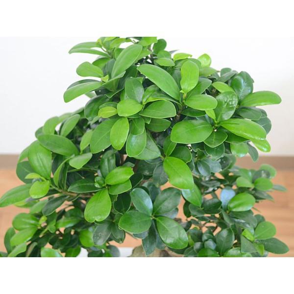 観葉植物 ガジュマル(多幸の木) 曲がり仕立て スクエア陶器鉢植え|flower-c|02