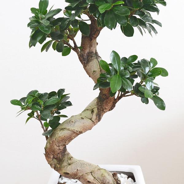 観葉植物 ガジュマル(多幸の木) 曲がり仕立て スクエア陶器鉢植え|flower-c|03
