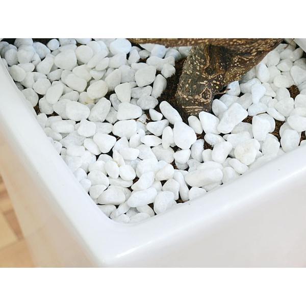 観葉植物 ガジュマル(多幸の木) 曲がり仕立て スクエア陶器鉢植え|flower-c|04
