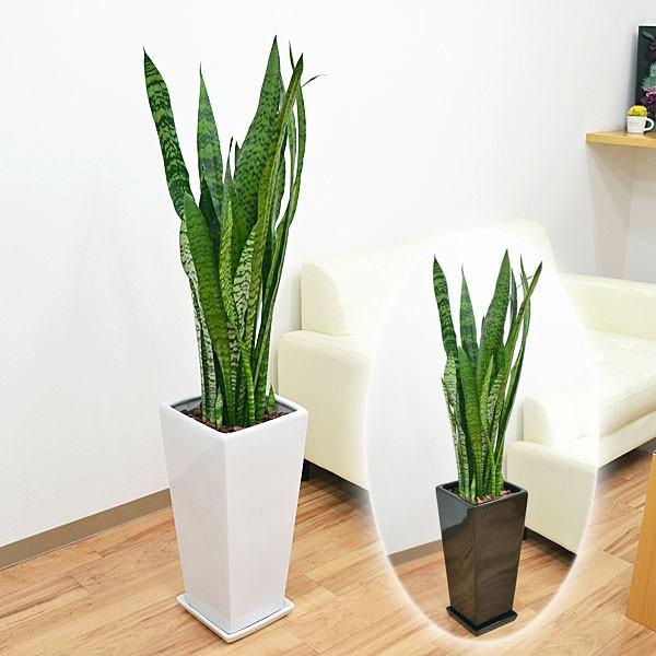 観葉植物 サンスベリア・ゼラニカ ロングスクエア陶器鉢植え BIGサイズ|flower-c