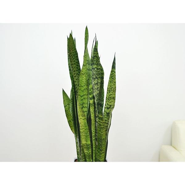 観葉植物 サンスベリア・ゼラニカ ロングスクエア陶器鉢植え BIGサイズ|flower-c|02