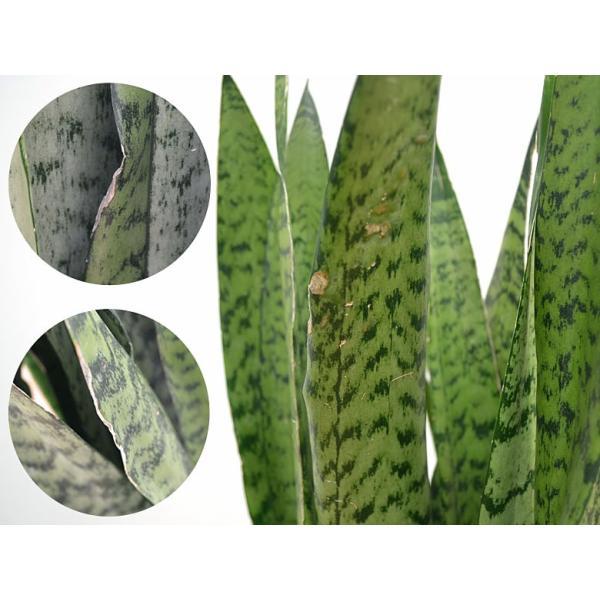 観葉植物 サンスベリア・ゼラニカ ロングスクエア陶器鉢植え BIGサイズ|flower-c|03