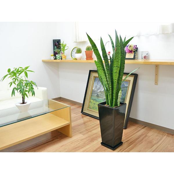 観葉植物 サンスベリア・ゼラニカ ロングスクエア陶器鉢植え BIGサイズ|flower-c|06