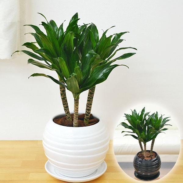 観葉植物 ドラセナ・コンパクター ボール型陶器鉢植え 5号|flower-c