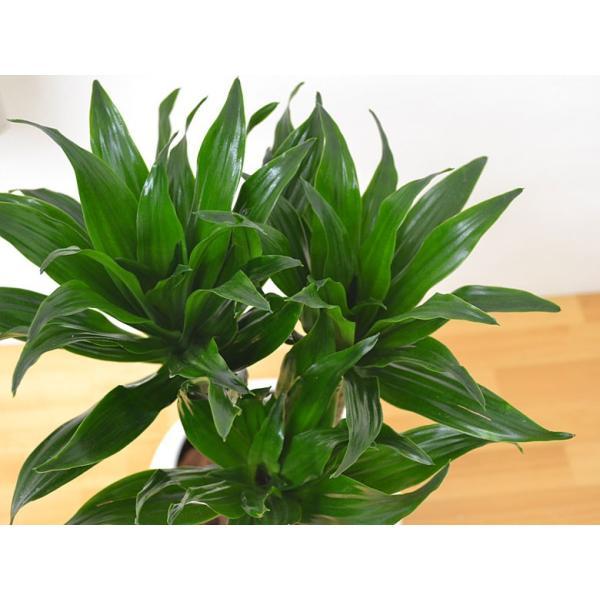 観葉植物 ドラセナ・コンパクター ボール型陶器鉢植え 5号|flower-c|02