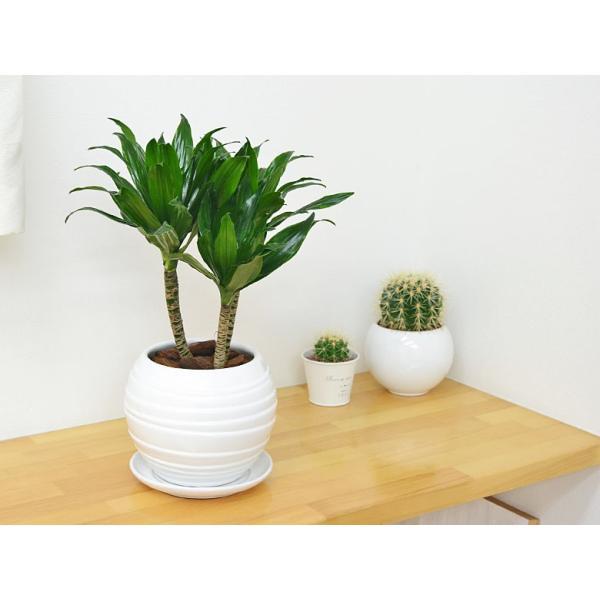 観葉植物 ドラセナ・コンパクター ボール型陶器鉢植え 5号|flower-c|05