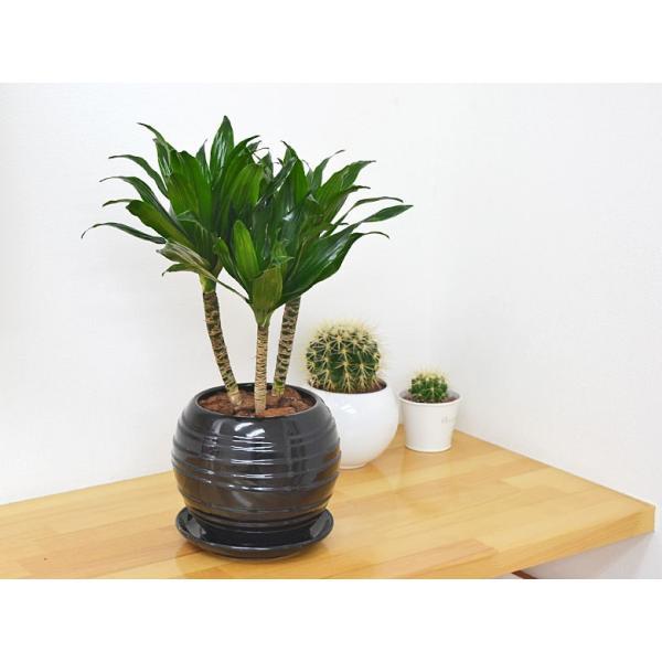 観葉植物 ドラセナ・コンパクター ボール型陶器鉢植え 5号|flower-c|06