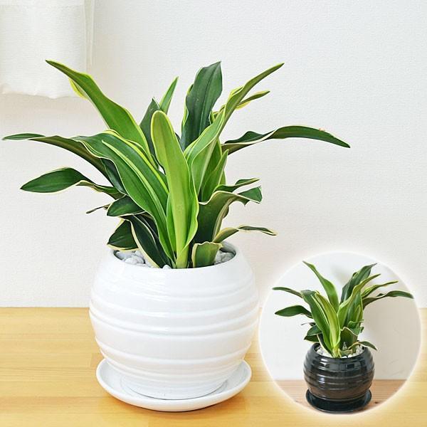 観葉植物 万年青(オモト) 甲竜 ボール型陶器鉢植え|flower-c