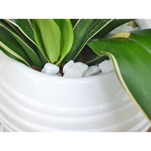 観葉植物 万年青(オモト) 甲竜 ボール型陶器鉢植え|flower-c|03