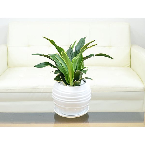 観葉植物 万年青(オモト) 甲竜 ボール型陶器鉢植え|flower-c|05