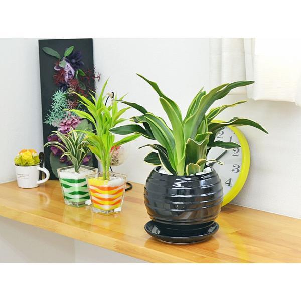 観葉植物 万年青(オモト) 甲竜 ボール型陶器鉢植え|flower-c|06