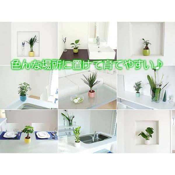 観葉植物ミニ ハイドロカルチャー 3鉢セット おしゃれ お祝い 陶器鉢付き|flower-c|05