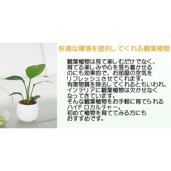 観葉植物ミニ ハイドロカルチャー 3鉢セット おしゃれ お祝い 陶器鉢付き|flower-c|06