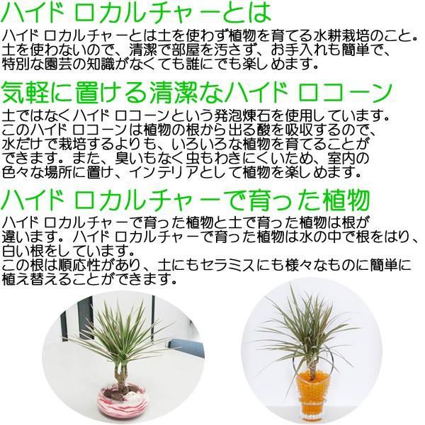 観葉植物ミニ ハイドロカルチャー 3鉢セット おしゃれ お祝い 陶器鉢付き|flower-c|07