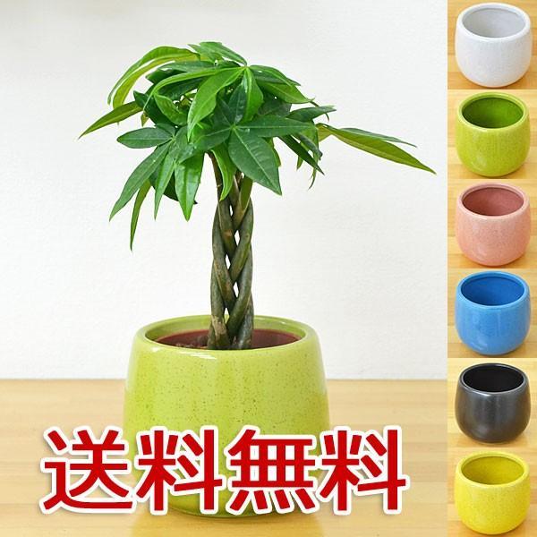 ミニ観葉植物 編み込みパキラ陶器鉢付き(ハイドロカルチャー)
