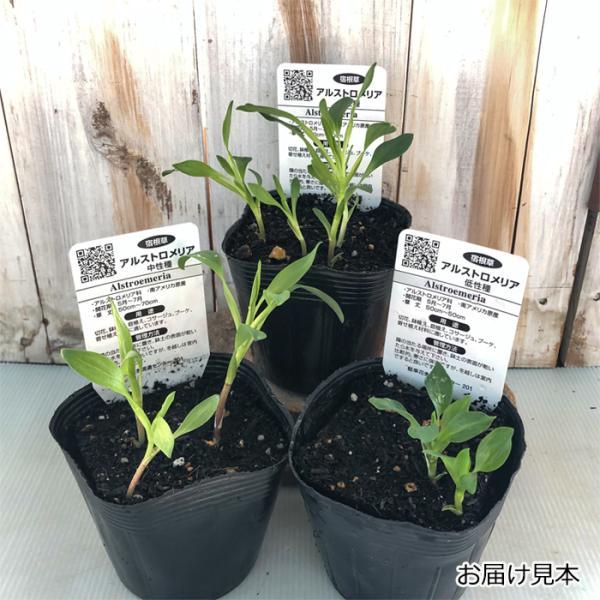 予約販売4月以降発送 選べるアルストロメリア苗Part1 宿根草 10.5cmポット|flower-net|02