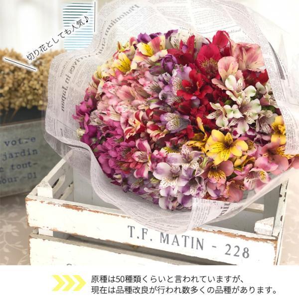 予約販売4月以降発送 選べるアルストロメリア苗Part1 宿根草 10.5cmポット|flower-net|04