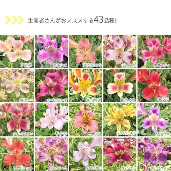 予約販売4月以降発送 選べるアルストロメリア苗Part1 宿根草 10.5cmポット|flower-net|05